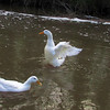 Sonny, wings, duck, canal, wings, original