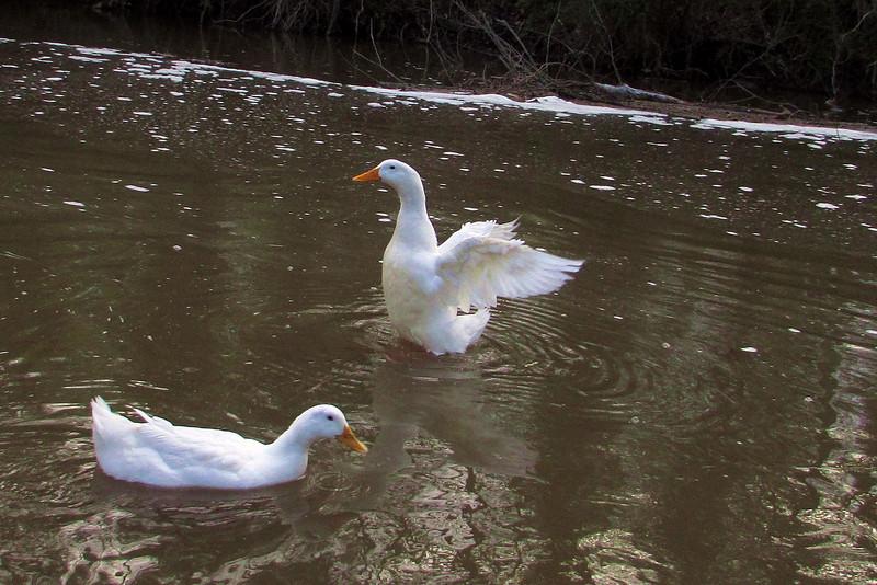 Sonny, wings, duck, canal, wings, 3