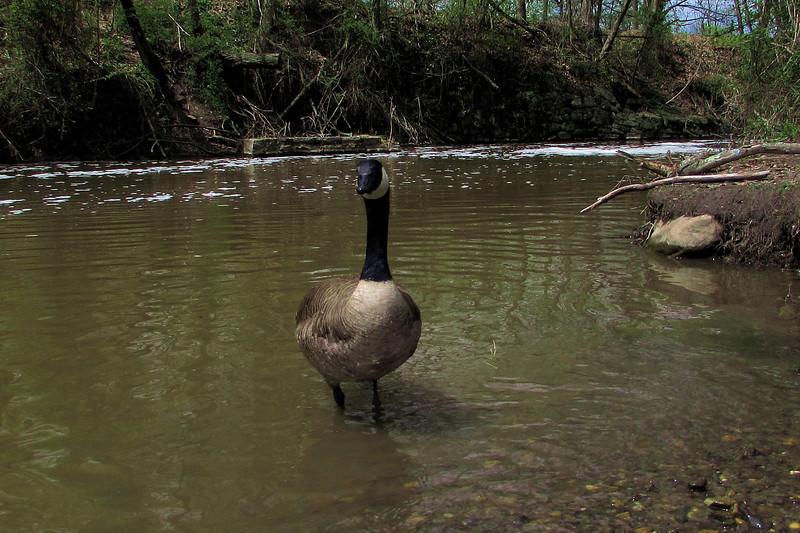 Napoleon, goose, canada, canal