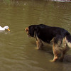 Cher, duck, Maddie, Canal, 2