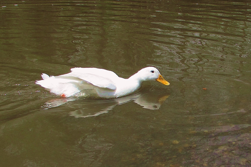 Cher, duck, Canal