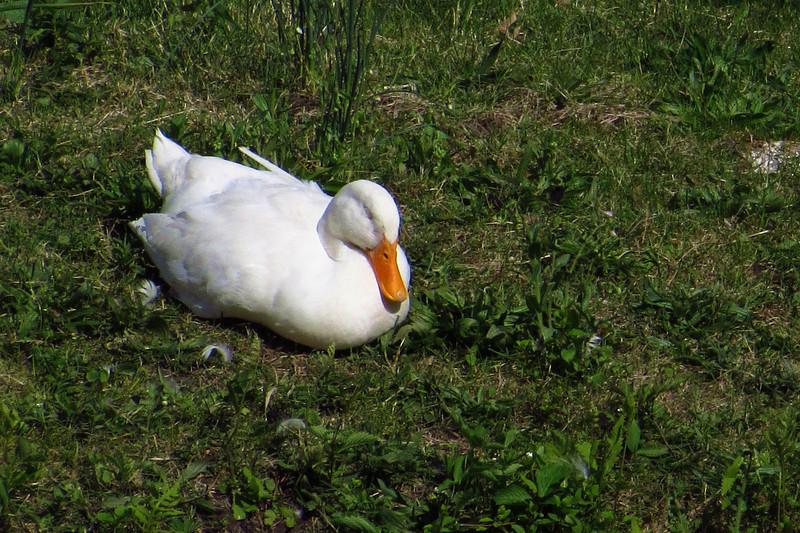 Sonny, duck, ducks, canal, sleep, 2