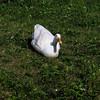 Cher, duck, ducks, canal