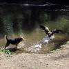 Maddie, chase, canal, goose, canada