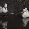 Cher, Sonny, duck, ducks, canal, 6
