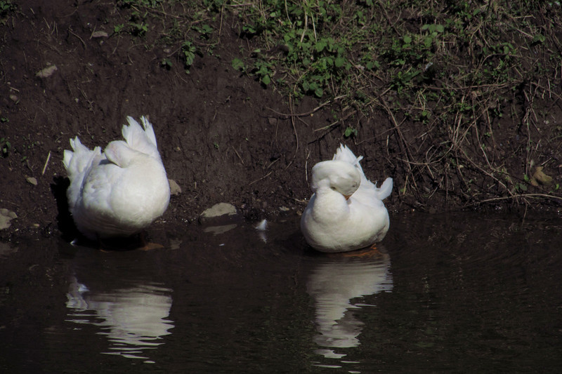 Cher, Sonny, duck, ducks, canal, 5