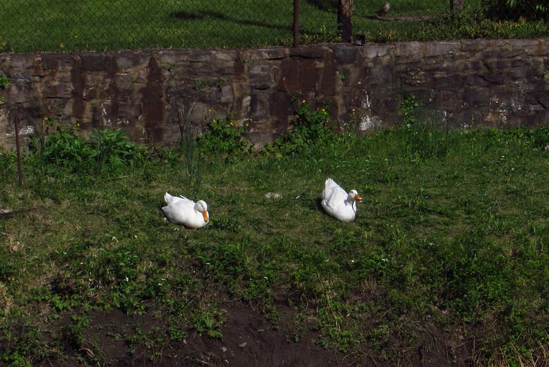 Cher, Sonny, duck, ducks, canal, 3