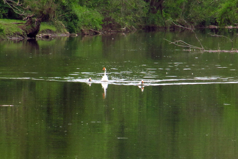 Duck, goose, canal, 4