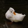 Sonny, clean, preen, duck, canal, 2
