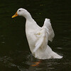 Cher, wings, duck, canal, 3
