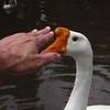 Big guy, goose, clean, beak, 1