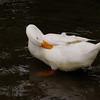 Sonny, clean, preen, duck, canal, 3