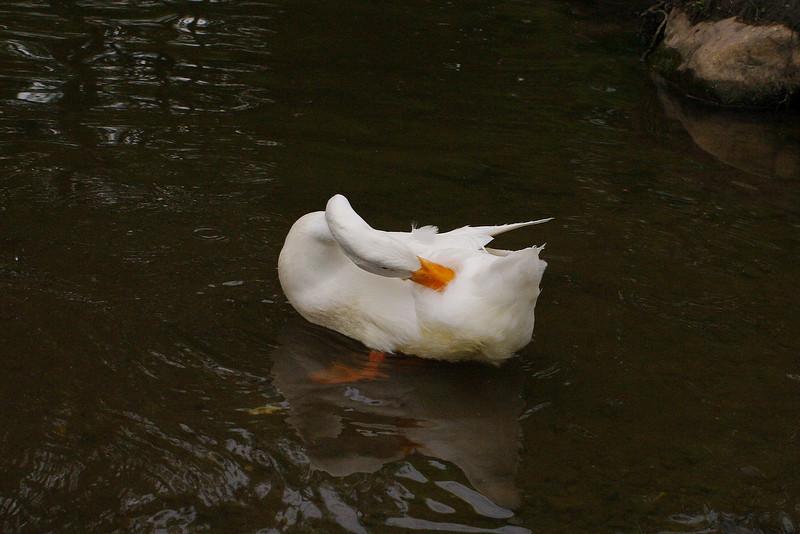 Sonny, clean, preen, duck, canal