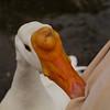 big guy, goose, bite, treats, canal