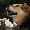 Maddie, ducks, geese, canal