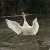 Big Guy, goose, canal, wings
