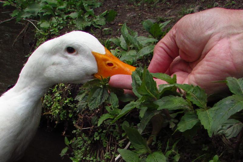Sonny, duck, treats, hand, canal, 2