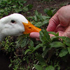 Sonny, duck, treats, hand, canal, 2