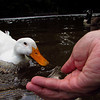 Sonny, duck, treats, hand, canal, FB