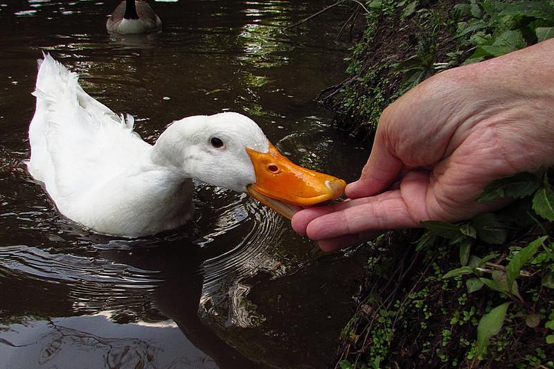 Sonny, duck, treats, hand, canal, 5, FB