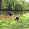 Maddie, towpath, chase, goose, canada, canal