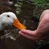 Sonny, duck, treats, hand, canal, 3, FB
