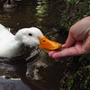 Sonny, duck, treats, hand, canal, 5