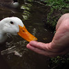 Sonny, duck, treats, hand, canal, 3