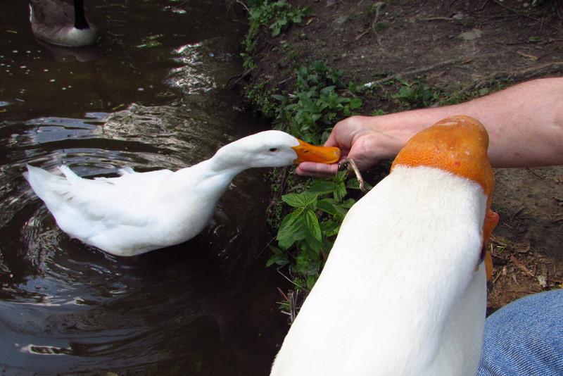 Sonny, duck, treats, hand, canal, 4