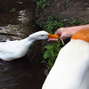Sonny, duck, treats, hand, canal, 4