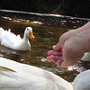 Sonny, duck, treats, hand, canal, 6