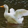 Sonny, wings, canal, duck, FB