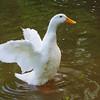 Sonny, wings, duck, canal