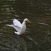 Sonny, wings, duck, canal, 33