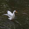 Sonny, wings, duck, canal, 3