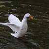 Sonny, wings, duck, canal, 33, FB