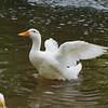 Sonny, wings, canal, duck