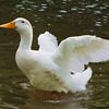 Sonny, wings, canal, duck, 22