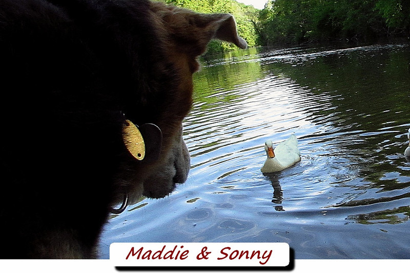 Maddie, Sonny, duck, canal, FB