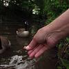 Napoleon goose, canada, hand, treats, 4