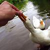 cher, treats, hand, canal, duck