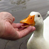 sonny, hand, me, canal, duck, 4