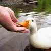 Sonny, duck, canal, hand, FB