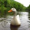 sonny, portrait, duck