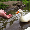 sonny, hand, canal, duck