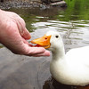Sonny, duck, canal, hand