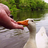 sonny, hand, me, canal, duck, 3