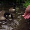 Napoleon goose, canada, hand, treats, 3