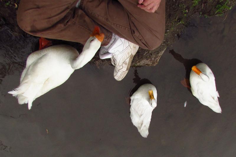 Me, group, duck, ducks, goose, canal, overhead, 2