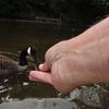 Napoleon goose, canada, hand, treats